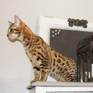 TICA zaregistrovala kotě F1 a F2 Savannah