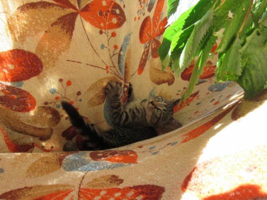 Daruji mazlivé koťátko, kotě, kočičku zdarma