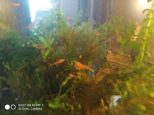 Krevety rodů Neocaridina davidi Red Cherry